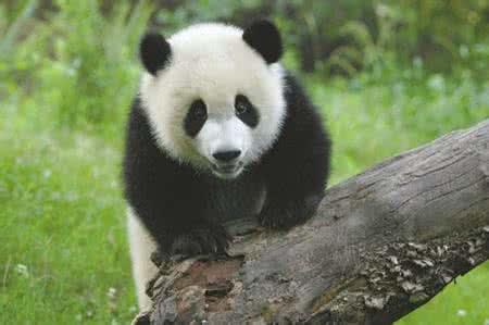大熊猫晶晶/
