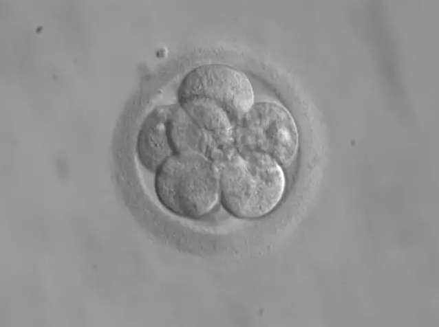 SHEEFS 胚状体