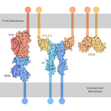 図1. CTLA−4は1種の膜貫通タンパク[1]であり、CD28と同じリガンドのCD80(B7−1)およびCD86(B7−2)を有する   サイヤジェン株式会社