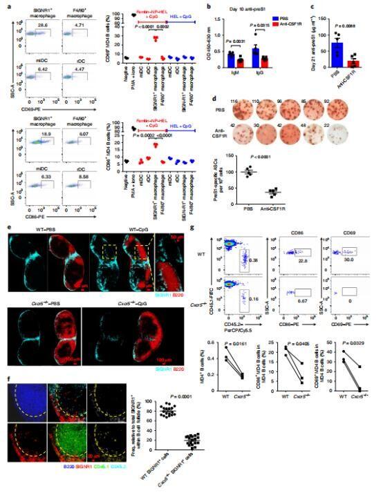 图2. B细胞激活和抗体产生需要SIGNR1+巨噬细胞