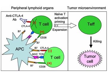 図2. 現在流行しているCTLA-4免疫抑制剤の作用メカニズム   サイヤジェン株式会社