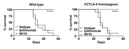 図7. CTLA-4ヒト化マウスにおいて、CTLA-4モノクローナル抗体(Ipilimumab)は抗腫瘍活性を有する   サイヤジェン株式会社