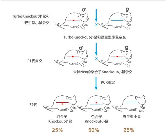 基因敲除小鼠价格
