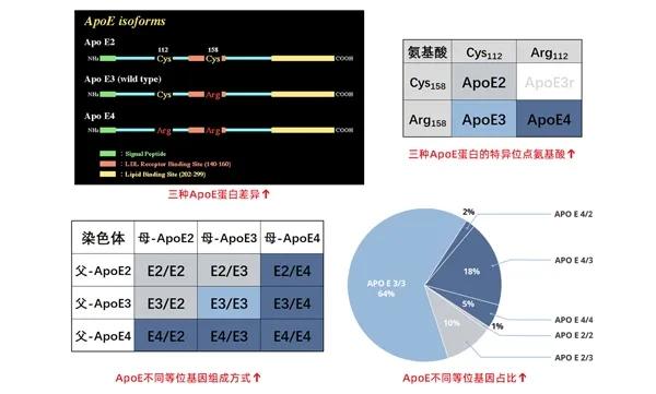 �D4. 人�APOE基因多�B性