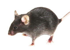 转基因小鼠