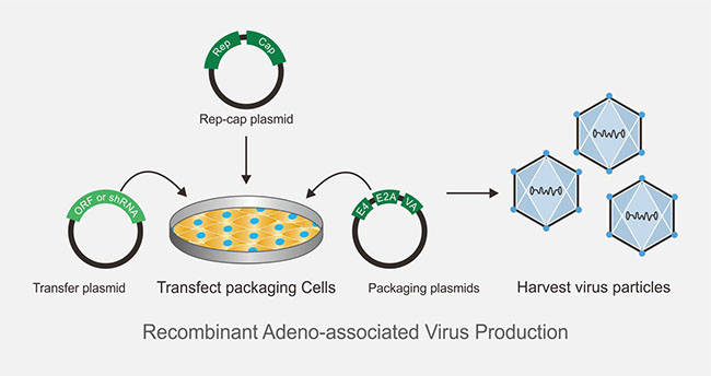 Recombinant Adeno-associated Virus Production