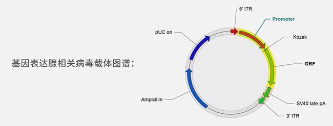 基因表达腺相关病毒载体图谱