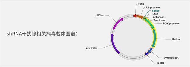 shRNA干扰腺相关病毒载体图谱