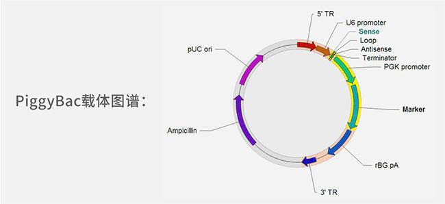 基因克隆载体
