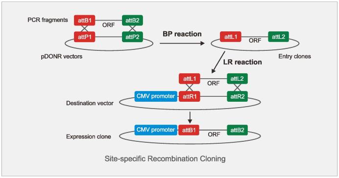 基因表达腺病毒载体克隆方法