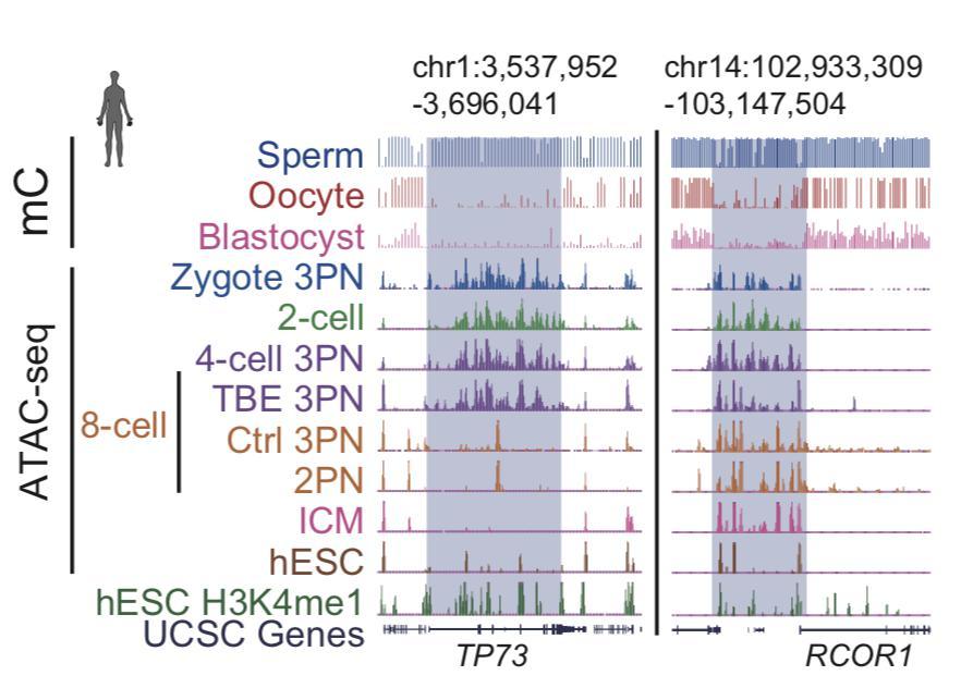 人胚胎发育各个阶段染色质开放状态