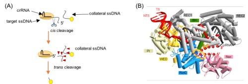 CRIPSR/Cas12a切割单链DNA的示意图(A)和三元复合物的结构模拟图(B)