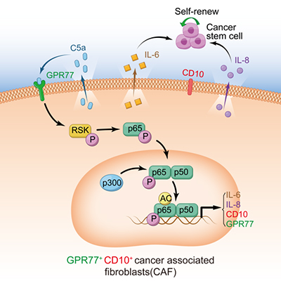 CD10+GPR77+ Cancer-Associated Fibroblasts Promote Cancer Formation and Chemoresistance by Sustaining Cancer Stemness
