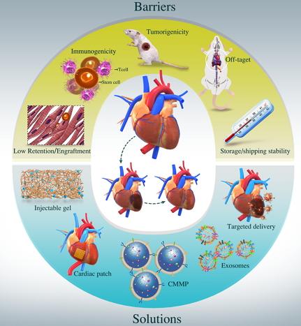 干细胞治疗心血管疾病领域面临的挑战以及解决方案