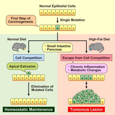 肥胖对上皮防癌机制的影响图1