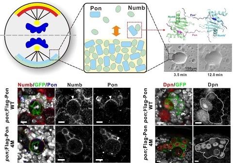 蛋白质的相变调控了细胞命运决定因子极性聚集进而促使神经干细胞分化