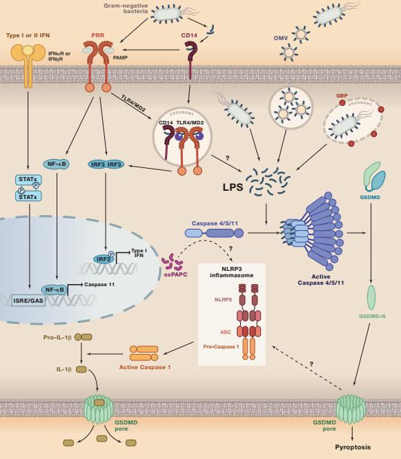 pyroptosis,以及免疫防御过程中的作用机制