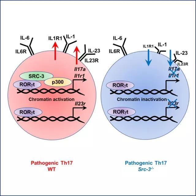致病性Th17细胞调控机制研究新进展