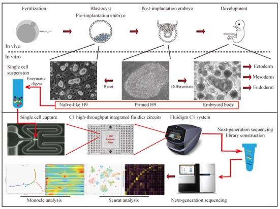 人多能干细胞的体外谱系分化图谱