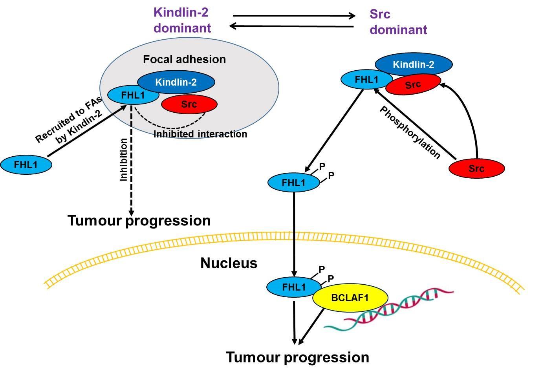 JBC推荐:癌基因Src促癌新机制重要进展