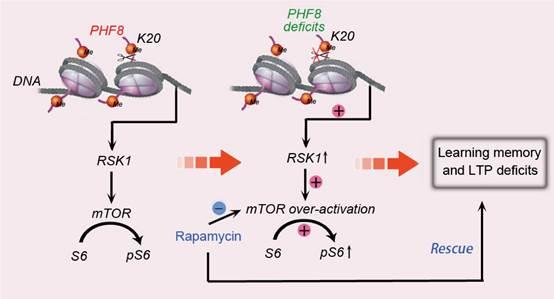 Phf8基因编码