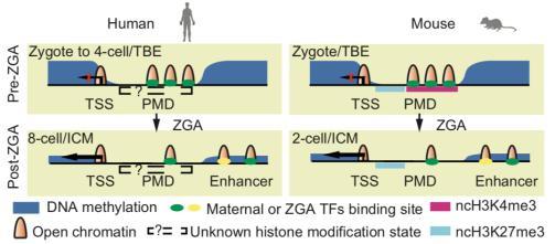 早期胚胎发育染色质开放模式图