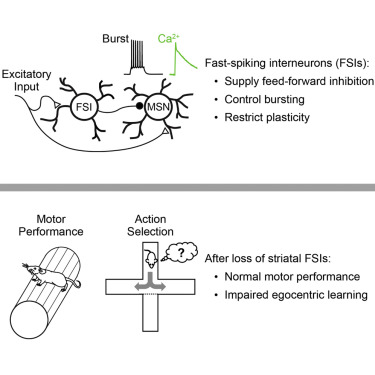 Fast-Spiking Interneurons Supply Feedforward Control of Bursting, Calcium, and Plasticity for Efficient Learning