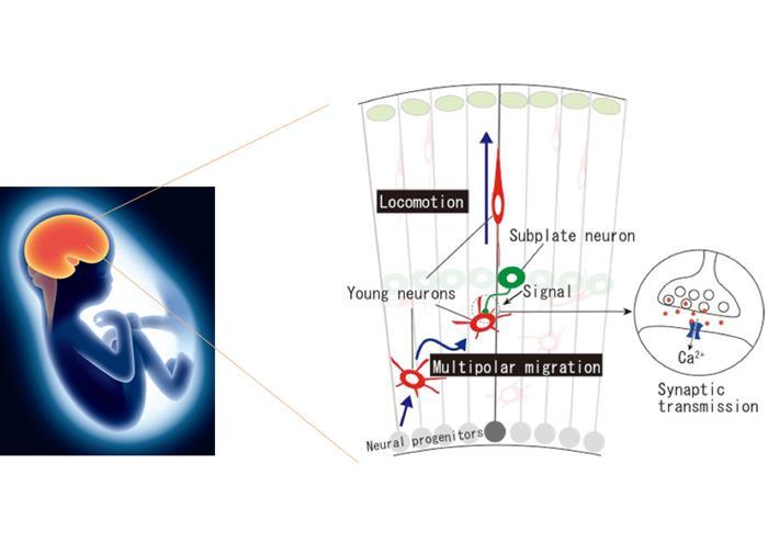新生神经元在亚板层完成了从多极迁移到辐射迁移的转变
