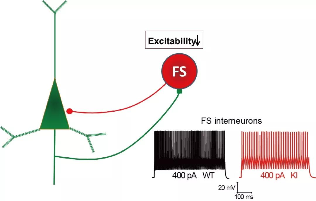 PV中间神经元(快速发放FS)响应同等去极化电流的动作电位个数减少,即兴奋性下降