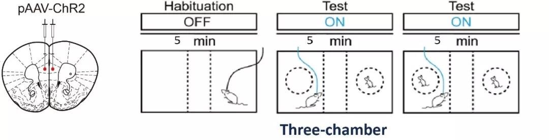 在前额叶皮层PV神经元中注射表达光敏感通道病毒,并埋入光纤,待小鼠恢复后做结合光遗传的三厢社交实验。