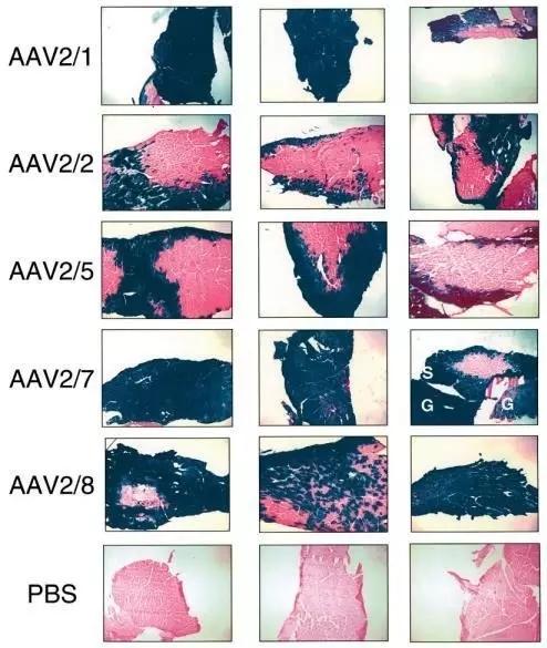 肌肉组织常用血清型