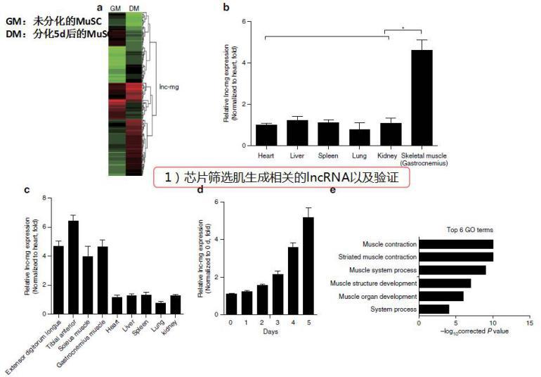 """""""芯片筛选肌生成相关的IncRNA以及验证"""""""