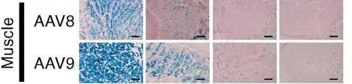 肌肉组织常用血清型-1