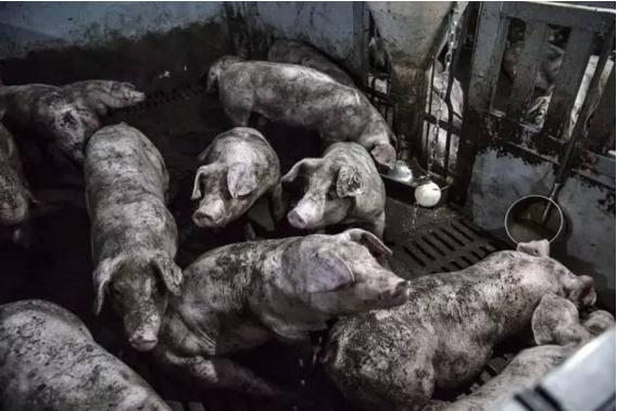 在家畜中滥用抗生素可能正在催生耐药性细菌