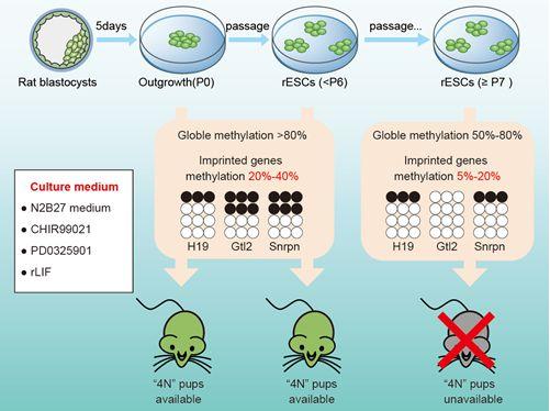 """""""研究发现大鼠干细胞多能性调控新规律""""/"""