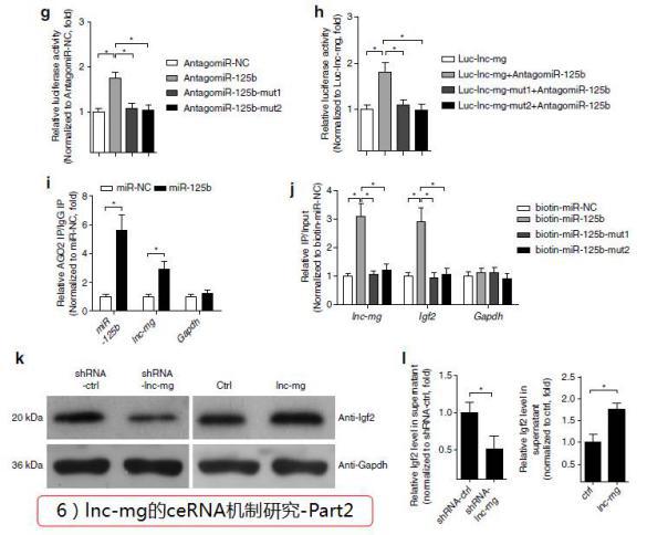 """""""Inc-mg的ceRNA机械研究-Part2""""/"""