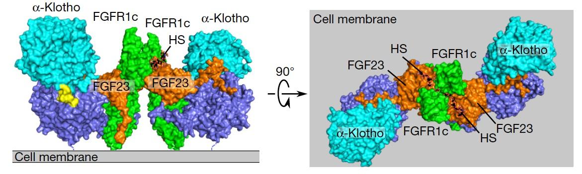 klotho-FGFR-FGF23-HS对称的四元复合物模型