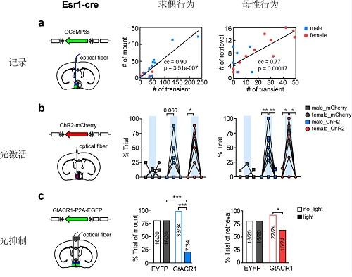 内侧视前核Esr1+神经元介导雌雄行为差异