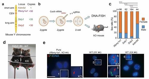 """""""用CRISPR/Cas9介导的Y染色体敲除获得特纳综合征小鼠""""/"""