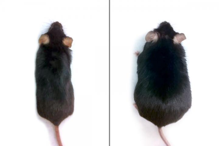 """""""左边的是激活Hedgehog通路相关基因的小鼠,右边的是对照小鼠"""""""