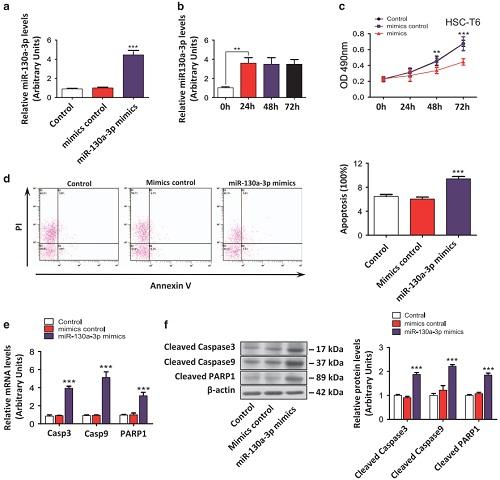 """miR-130a-3p抑制细胞增殖和生长并诱导活化的HSC凋亡""/"