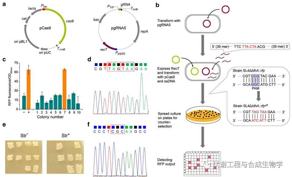 CRISPR/Cas9和RecT介导的ssDNA定向重组SL4ΔldhA:: rfp