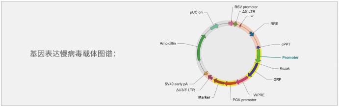 基因表达慢病毒载体