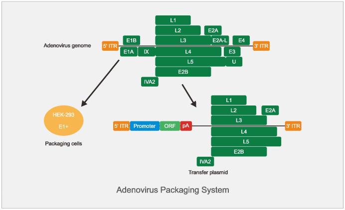 重组腺病毒包装系统