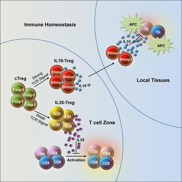 科学家发现新型效应性Treg细胞亚群