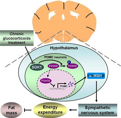 糖皮质激素的中枢调控机制