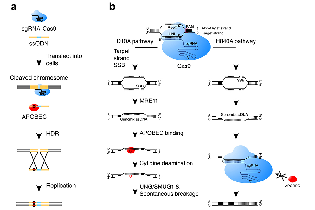 CRISPR-Cas9保真度提高方法研究