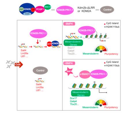 KDM2B-PRC1 在重编程中的功能研究