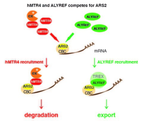 细胞核内 mRNA 出核或降解的关键分子机制