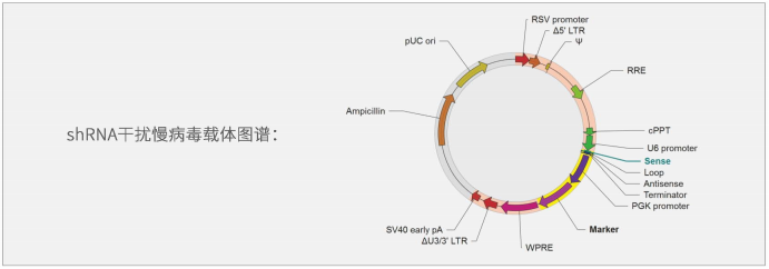 shRNA干扰慢病毒载体
